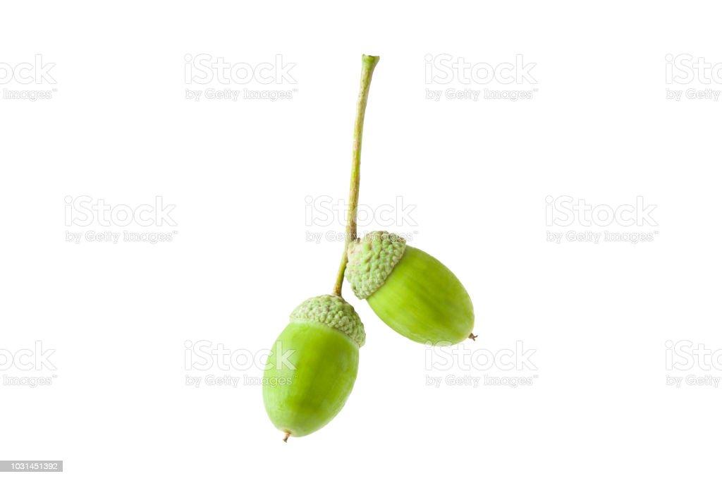 Two beautiful, fresh green oak acorns isolated on white background. stock photo