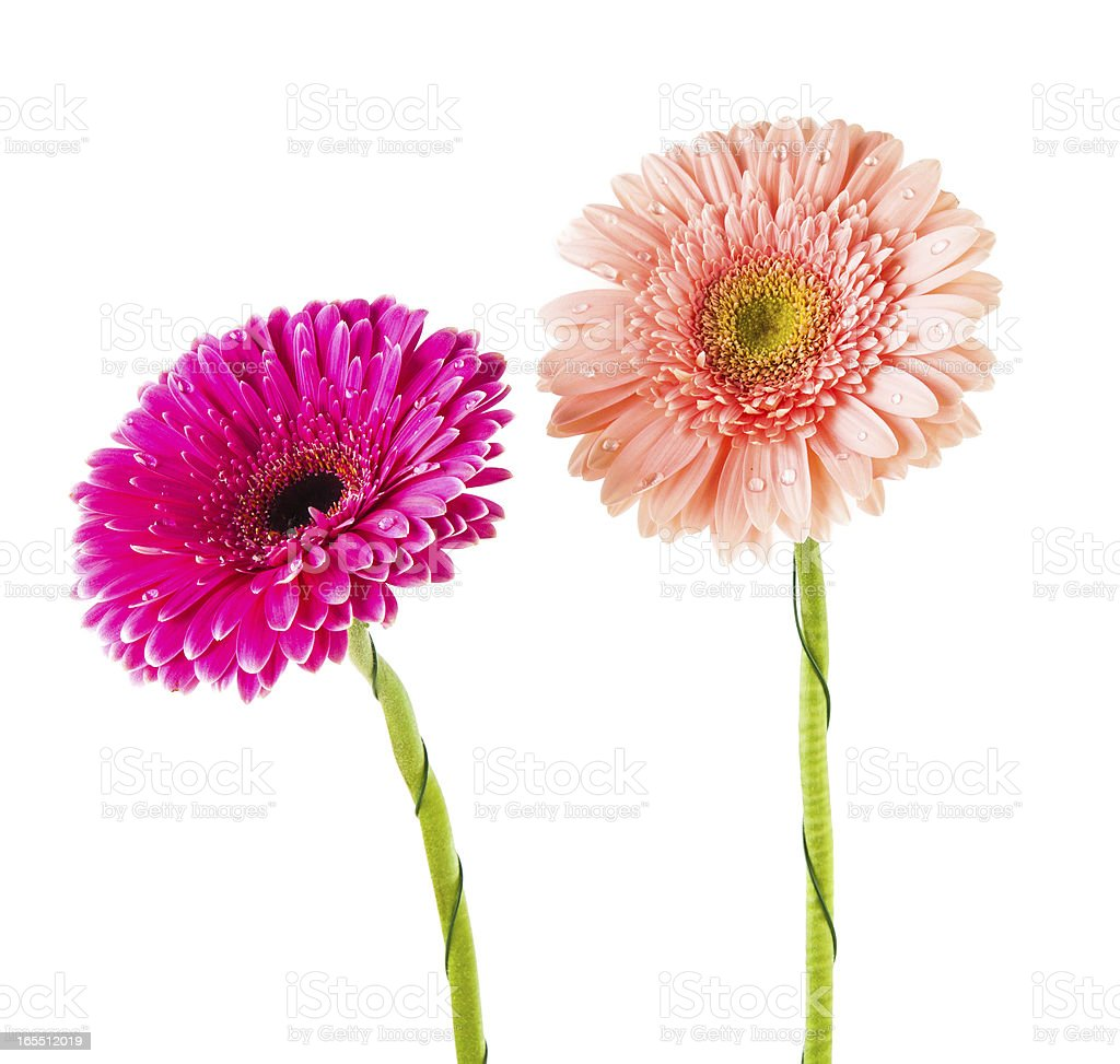 Two beautiful gerbera isolated royalty-free stock photo
