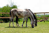 Two beautiful horses eating grass in tranquil scene