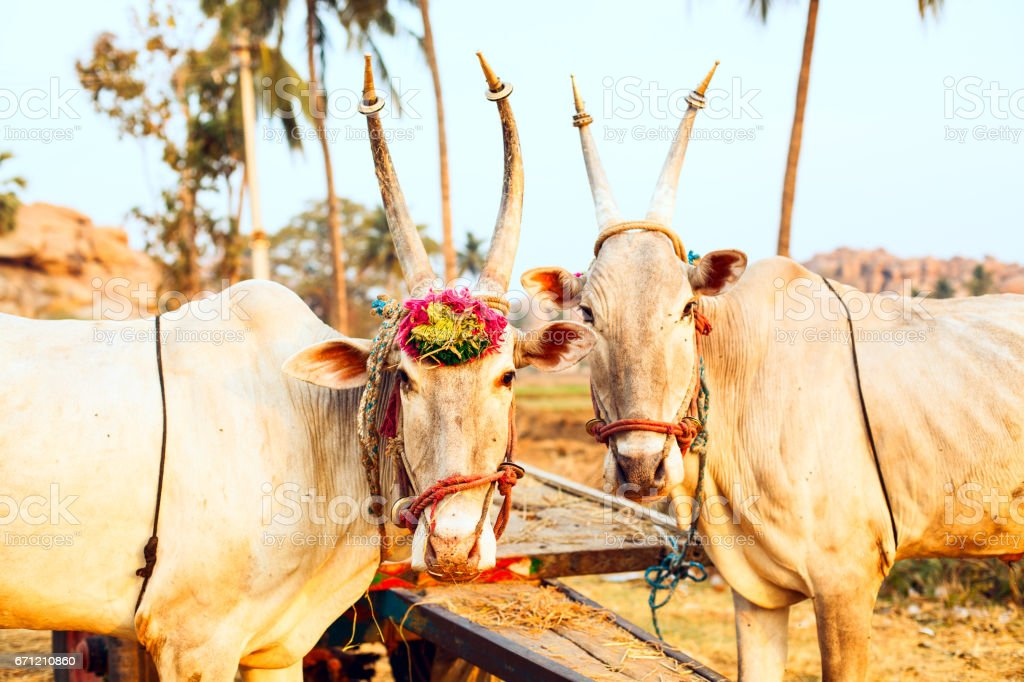 Two beautiful Indian cows stock photo