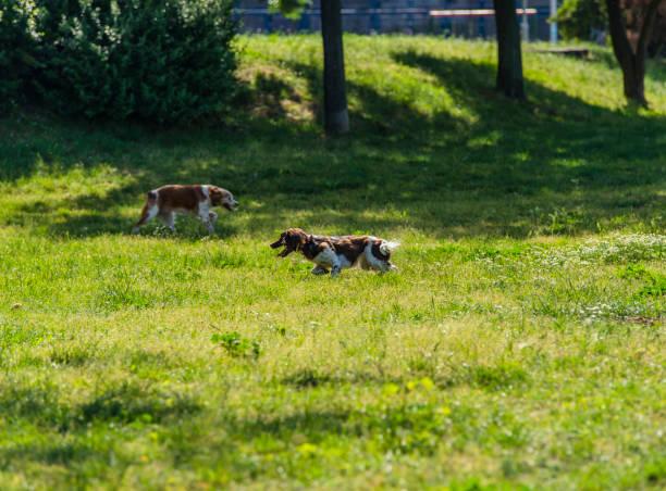 zwei schöne kooikerhondje hunde ist spielen im öffentlichen park - kooikerhondje welpen stock-fotos und bilder