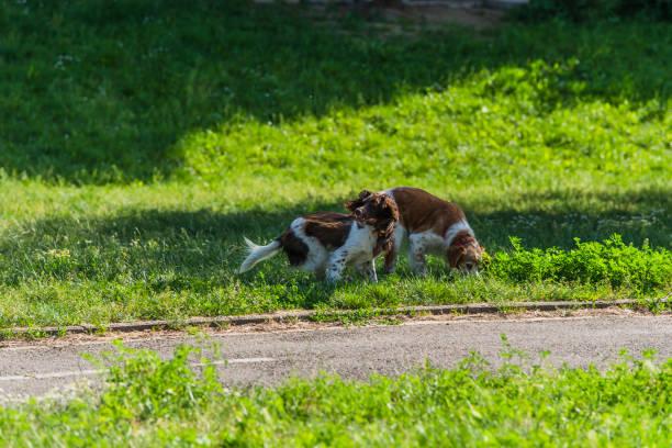 zwei schöne kooikerhondje hunde spielt im öffentlichen park - kooikerhondje welpen stock-fotos und bilder