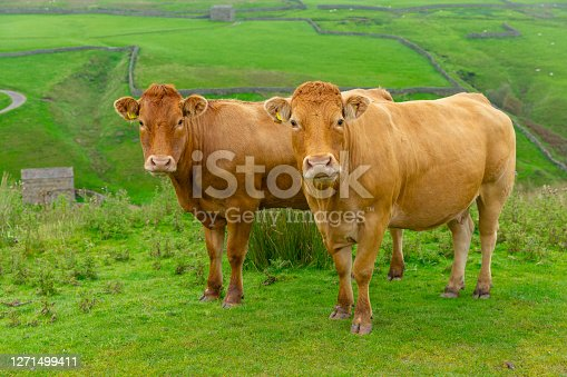 Two beautiful Limousin cows on the high fells near Keld in the Yorskhire Dales, North Yorkshire.  Facing forward with green meadows and drystone walling.  Close up.  Horizontal.  Space for copy.