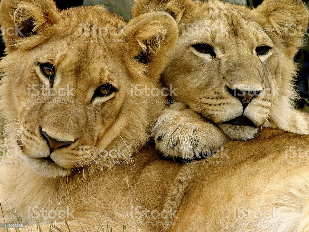 Two beautiful lions laying down together royalty-free stock photo