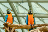 Two beautiful macaw parrots perched on branch.