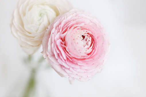 Two beautiful ranunculus with an Easter bunny in the background