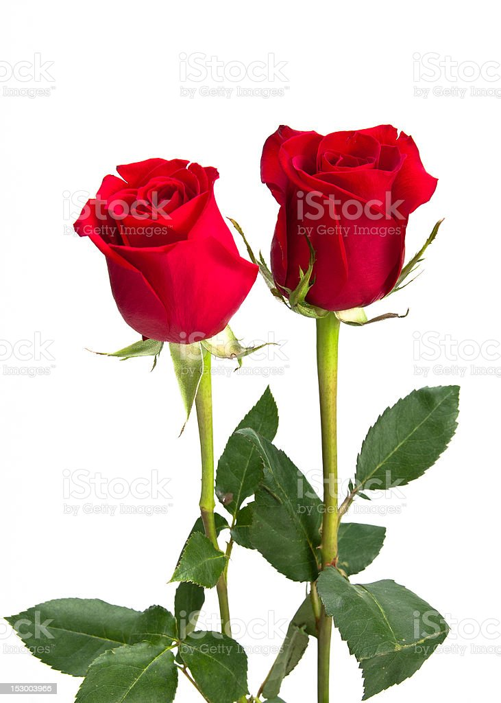 Two beautiful red roses on isolating background stock photo