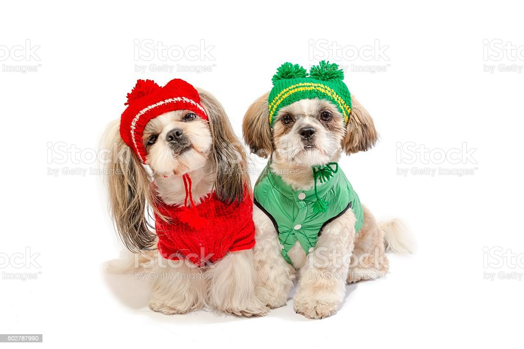 Two Beautiful Shihtzu Puppies Smiling In Winter Clothes Stock Photo Download Image Now Istock