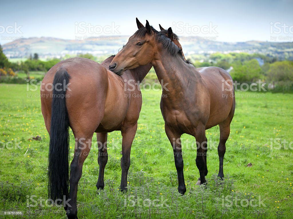 Two beautiful twin 6 year old horses cleaning each other royalty-free stock photo