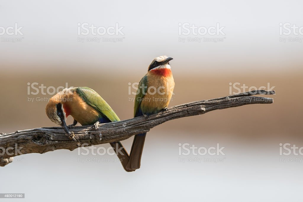 Two Bee Eaters royalty-free stock photo