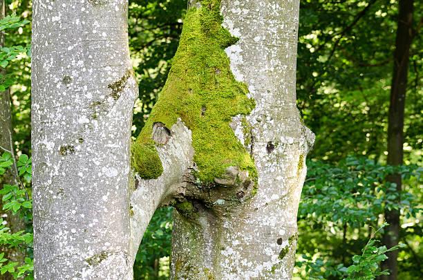 zwei buche bäume wachsen zusammen, inosculation - siamesische zwillinge stock-fotos und bilder