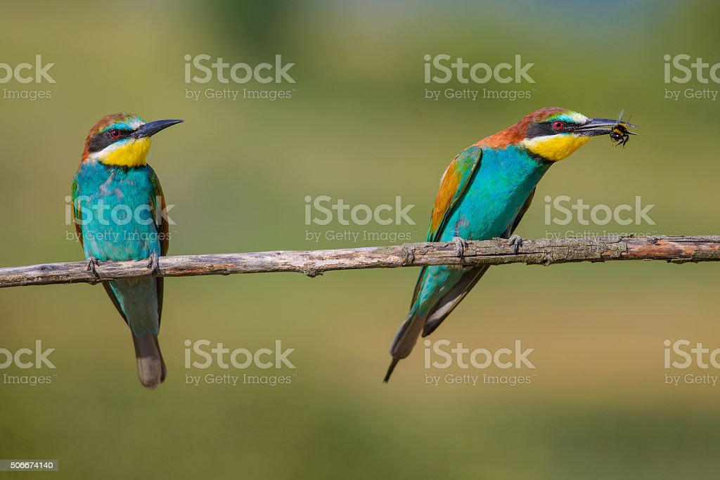 two bee-eaters sitting on a branch stock photo