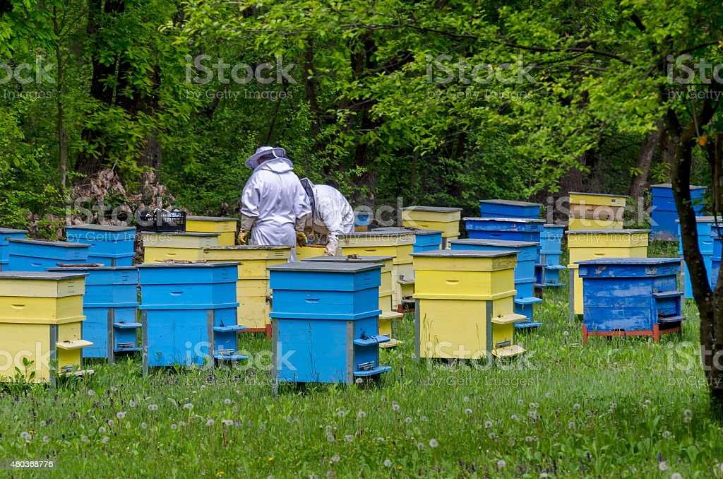 Two bee-masters  in veil at apiary work among hives stock photo