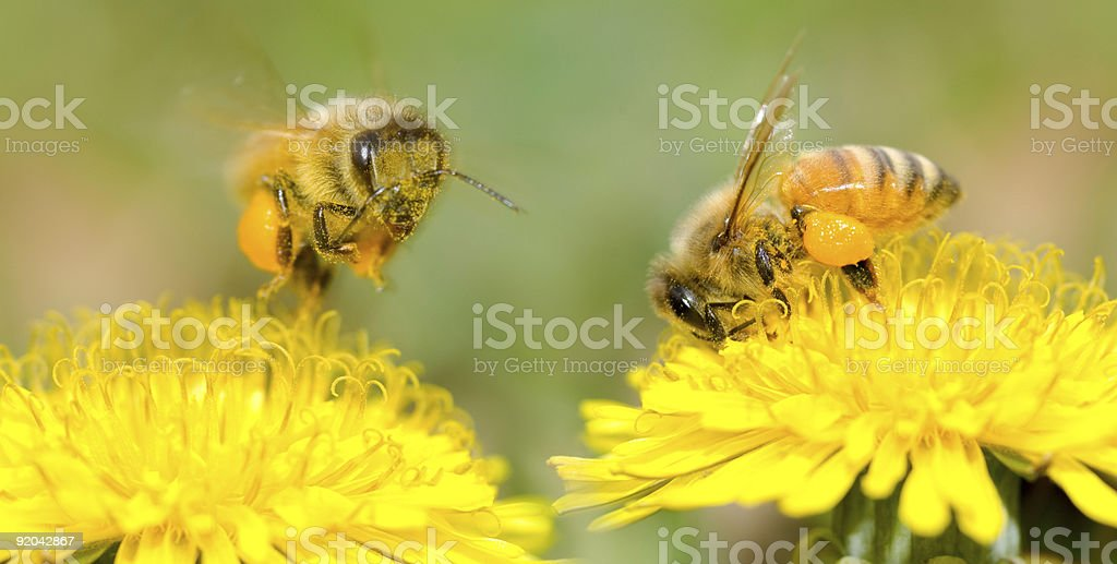 Two Bees and dandelion flower royalty-free stock photo