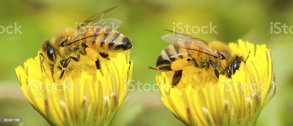 Two Bees and dandelion flower stock photo