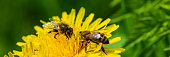 two bees collect nectar from a dandelion in a meadow on a sunny day. Web banner. Summer season. Ukraine. Europe.