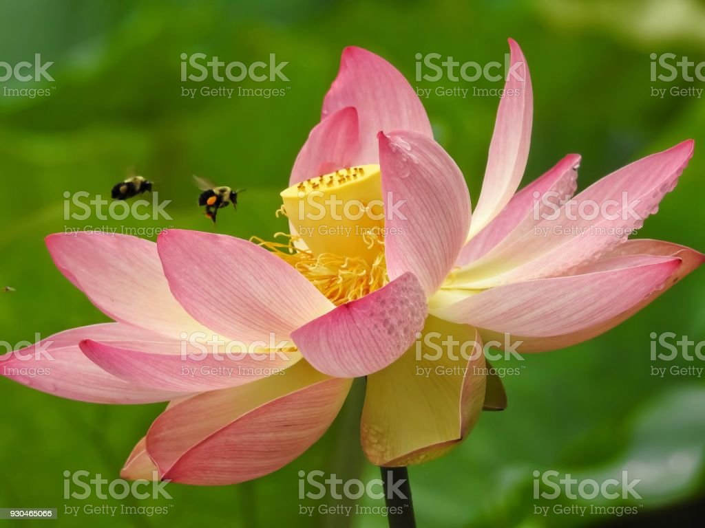 Two Bees Flying Into A Sacred Lotus Flower Stock Photo More