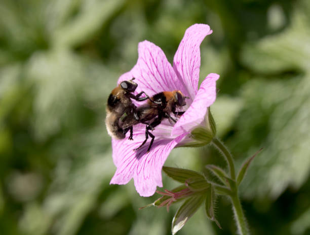Two Bees Fornicating on A Flower stock photo