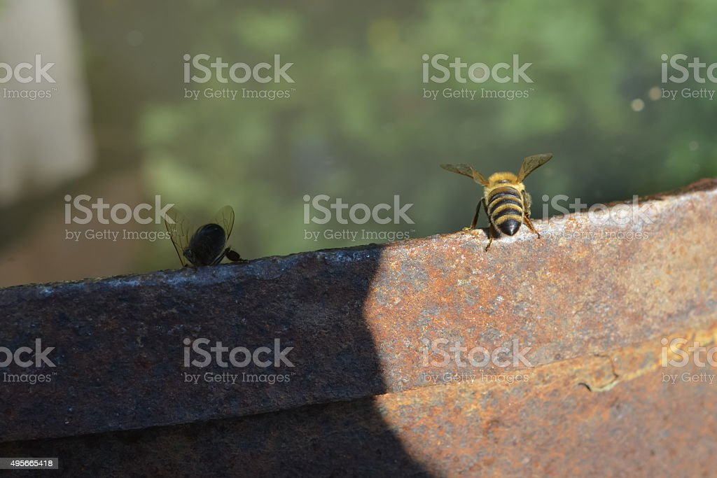 Two bees. Light and shadow. stock photo