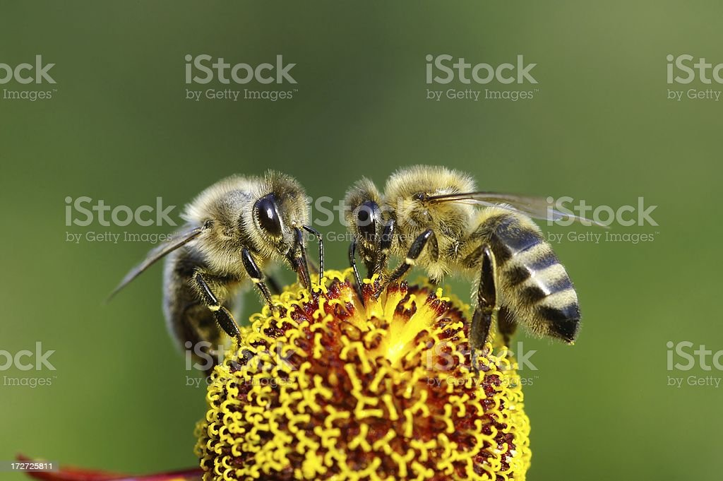 Two bees on a flower royalty-free stock photo