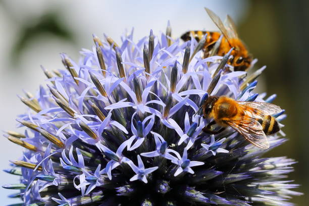 Two bees on Echinops ritro - southern globethistle Close up macro on pair of bees on Echinops ritro - southern globethistle in summer pejft stock pictures, royalty-free photos & images