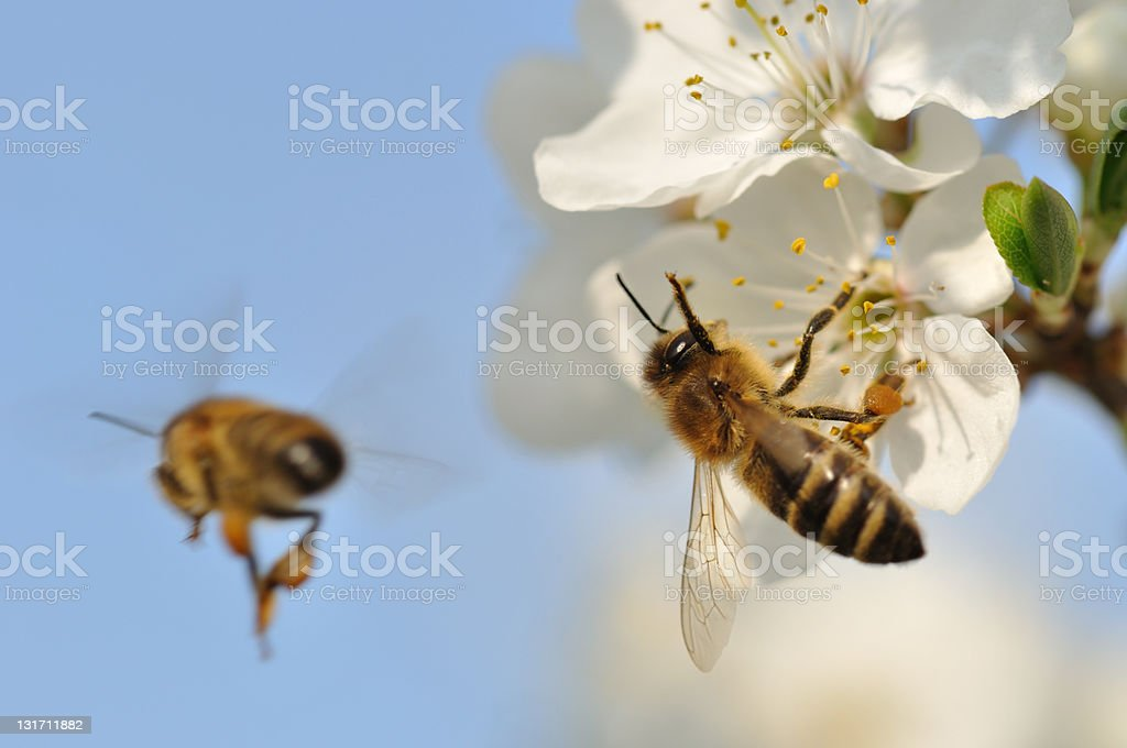 Two bees pollinating white flowers stock photo