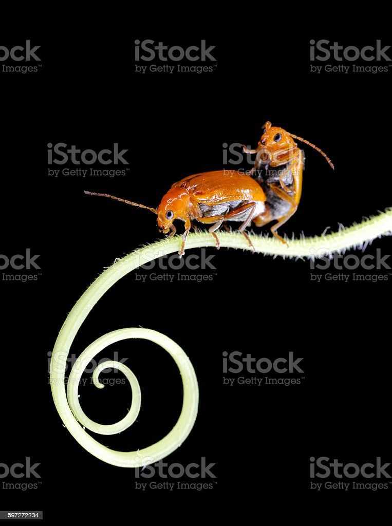 Two beetles insects mating on tendril royalty-free stock photo