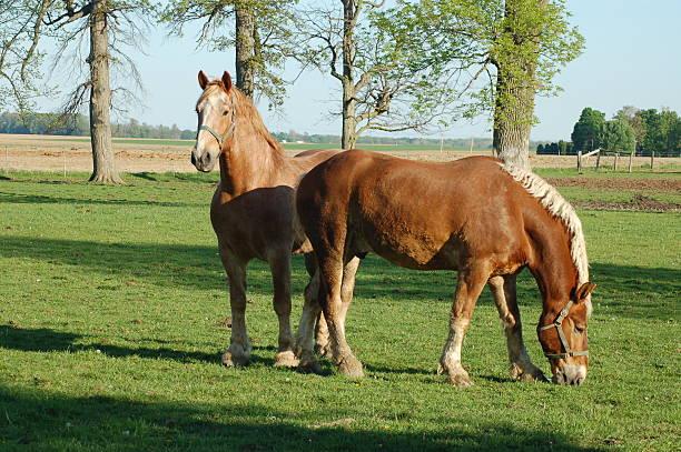 Two Belgian Horses stock photo