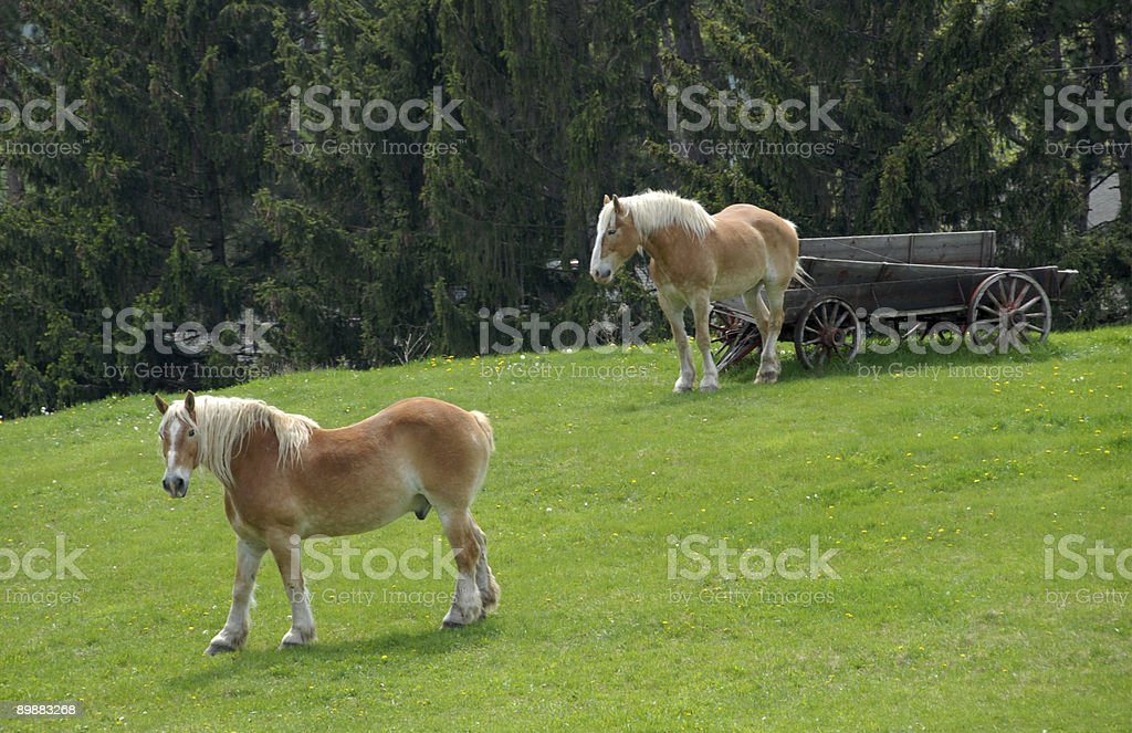 Zwei belgische Pferde mit alten Wagon Lizenzfreies stock-foto