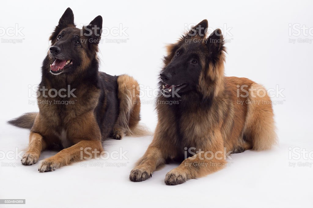 Two Belgian Shepherds, Tervueren dog and bitch, laying down stock photo