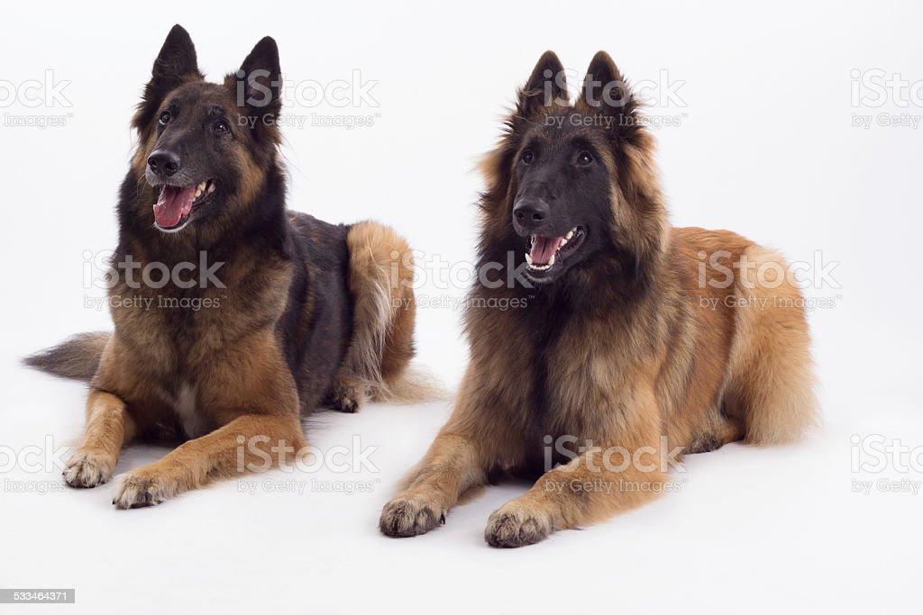 Two Belgian Shepherds, Tervuren dog and bitch, laying down stock photo