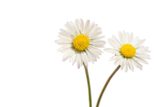 twee bellis perennis bloemen geïsoleerd op wit - madeliefje stockfoto's en -beelden