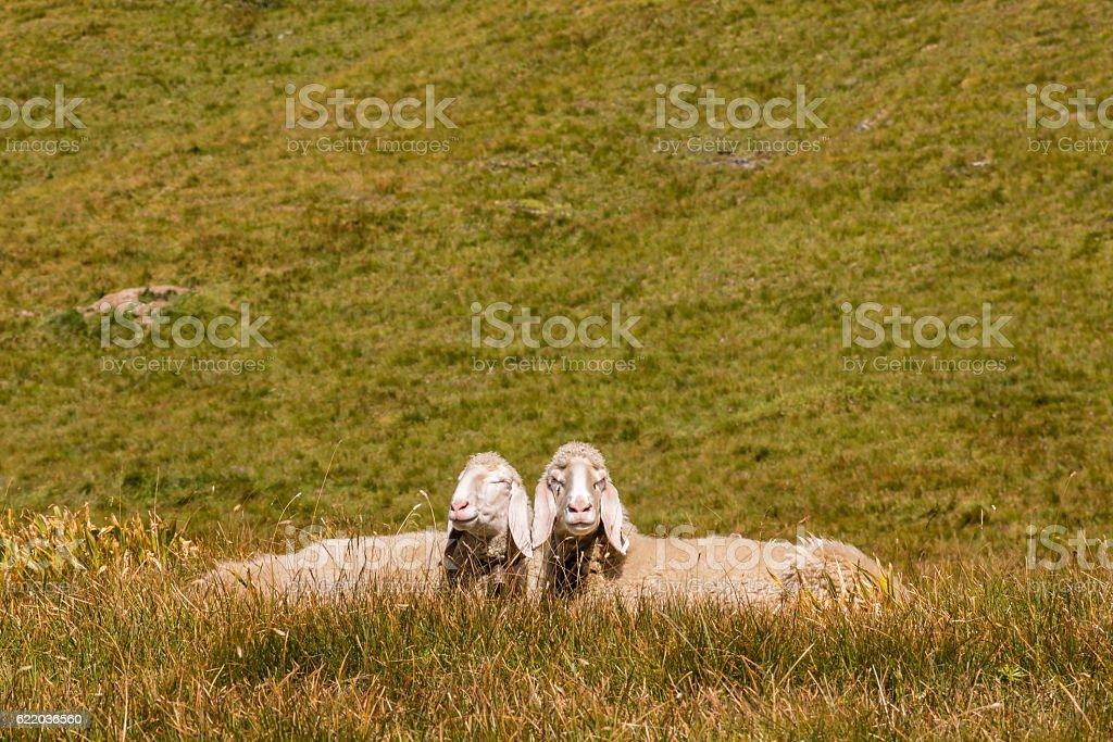 two bergamasca sheep basking on alpine meadow stock photo