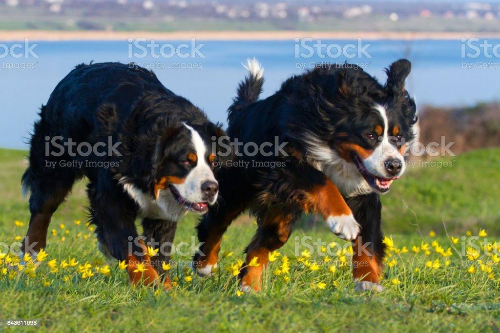 Deux Bernois - Photo