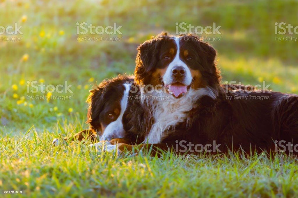 Reste de deux Bernois chien - Photo