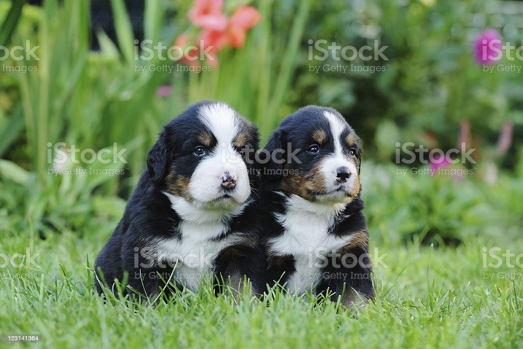 Two Bernese Mountain Dog portrait royalty-free stock photo