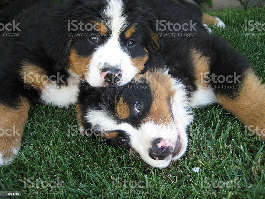 Two Bernese Mountain Dog Puppies in Grass stock photo