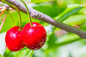Two red berries of a sweet cherry on a branch in a summer garden on blurred background of green leaves, macro. Selective focus