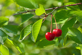 Two berries of red and sweet cherries on a branch with leaves in the garden. Cherry tree branch with harvest.