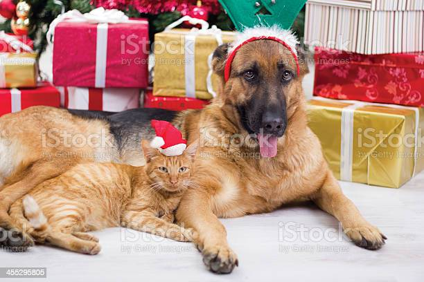 Two best friends dog and cat in christmas night picture id455295805?b=1&k=6&m=455295805&s=612x612&h=ft4yynkz0929chqgiyht smbbwwuuvjbqahw8y4jkby=