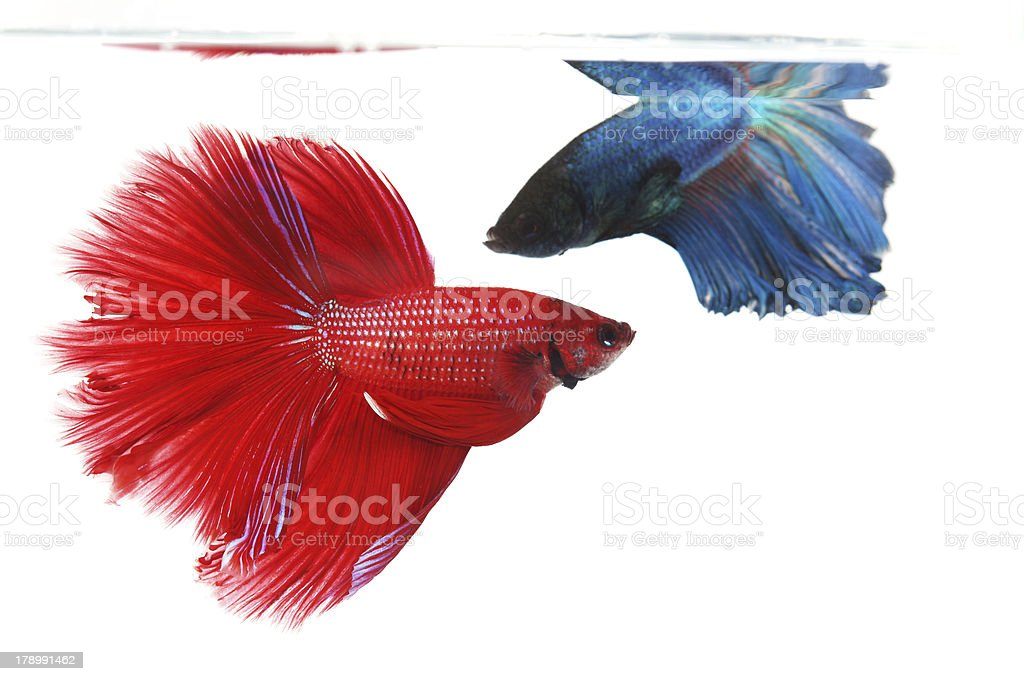 Two betta fishes, siamese fighting fish isolated on white backgr royalty-free stock photo