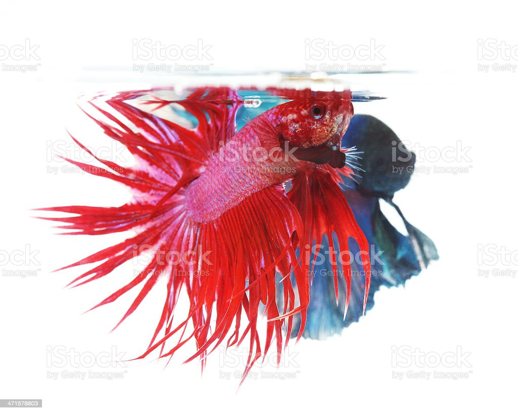 Two betta fishes, siamese fighting fish isolated on white royalty-free stock photo
