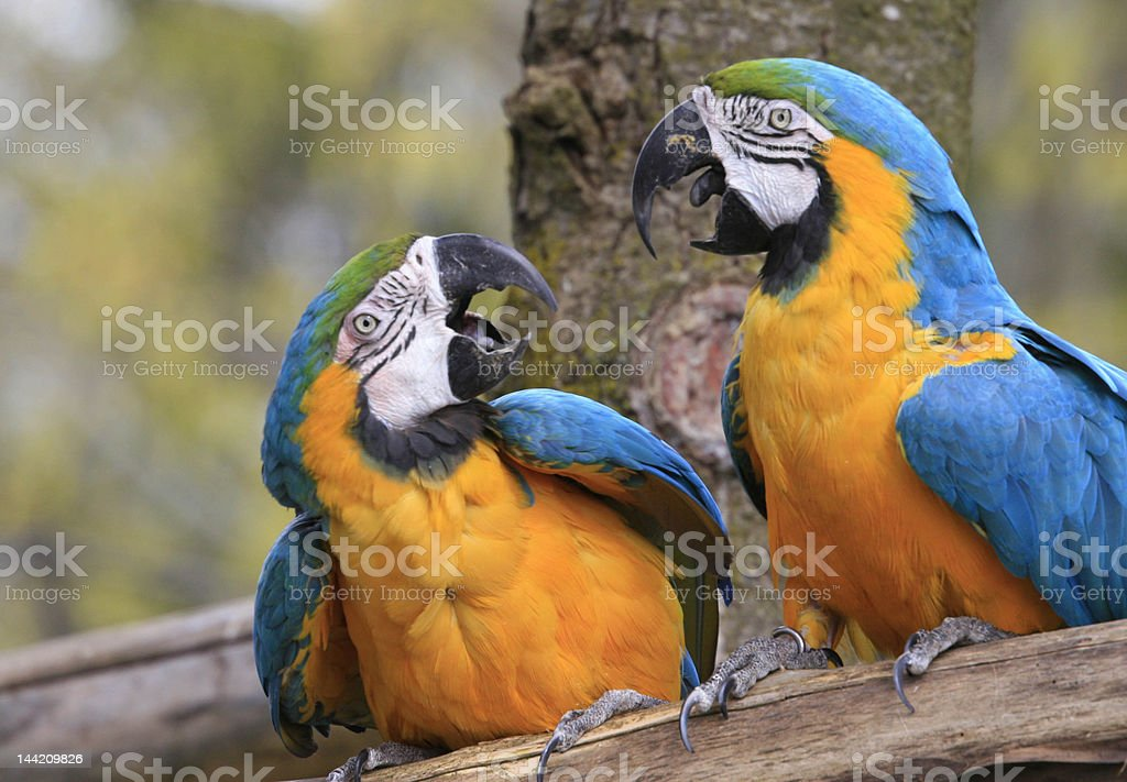 Two Bickering Blue and Gold Macaws royalty-free stock photo