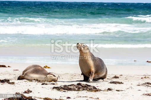 Australian Sea Lions on Kangaroo Island coastline, South Australia , Seal bay.