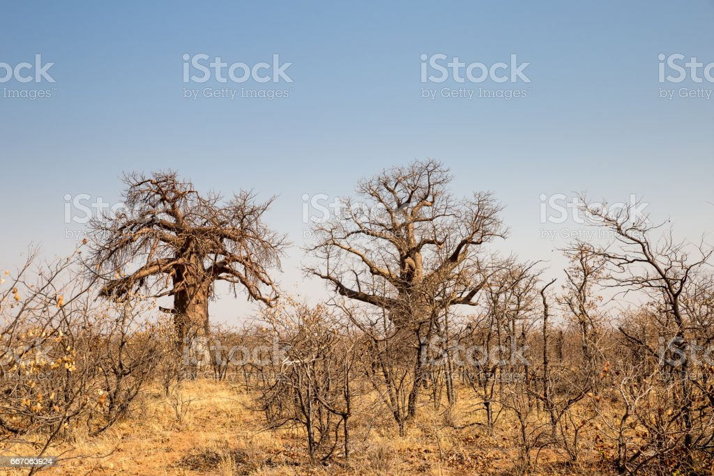 Two big Baobab Trees in Desert Landscape of Mapungubwe National Park, South Africa stock photo
