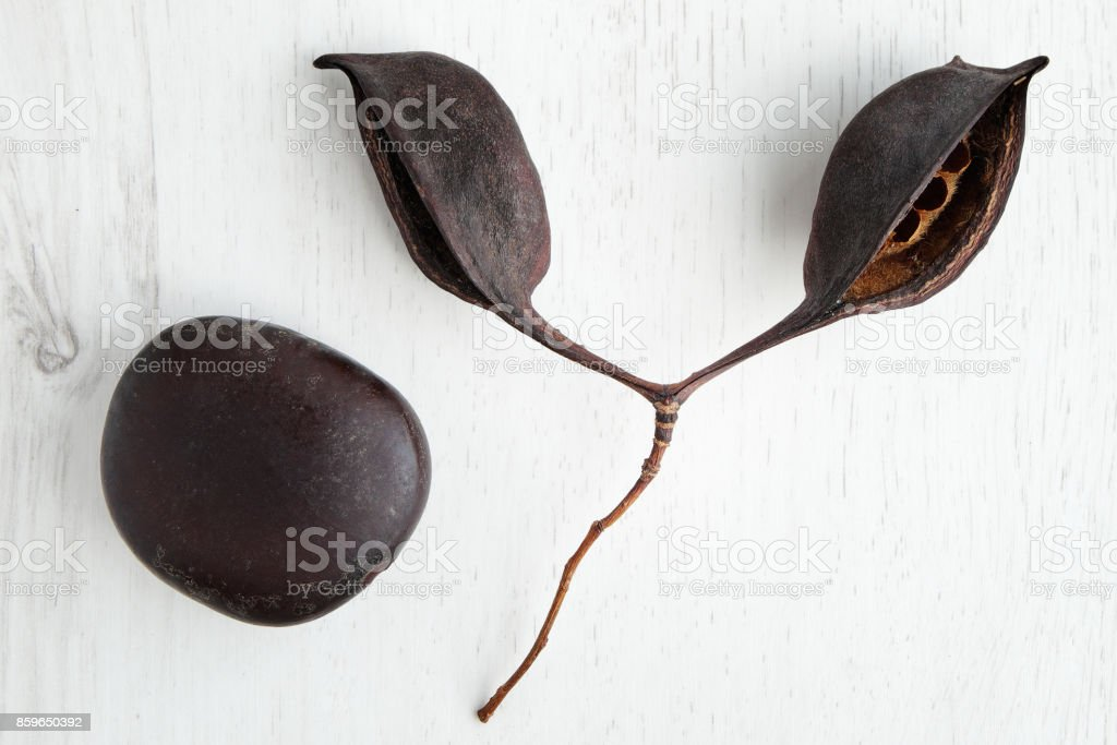 two big dried seeds stock photo