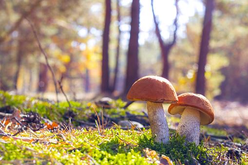 istock two big leccinum mushroom 1054260918