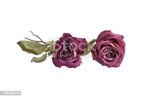 istock Two big roses on white background isolated close up, concept for greeting card, holiday banner, festive poster, design element for goods box, product labels, pattern in beautiful bright colors 1080980448