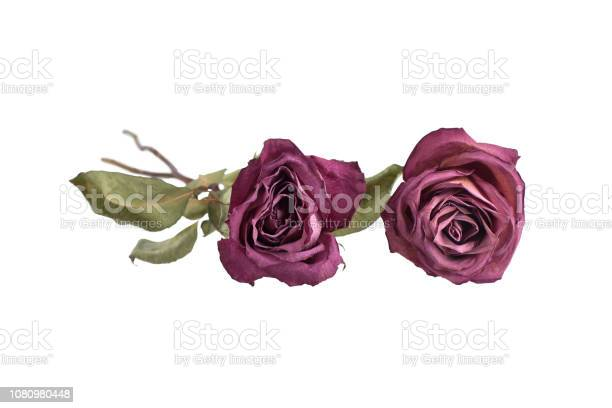 Two big roses on white background isolated close up concept for card picture id1080980448?b=1&k=6&m=1080980448&s=612x612&h=zdq2li 6 fv4qccq d jjjphwfztc5vorsl7tvvxkq4=