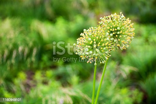 Two big round decorative blossom onion yellow flowers on green blurred bokeh background close up, Allium cristophii or Allium giganteum ornamental plant, scenic dandelion flowers in bloom, copy space
